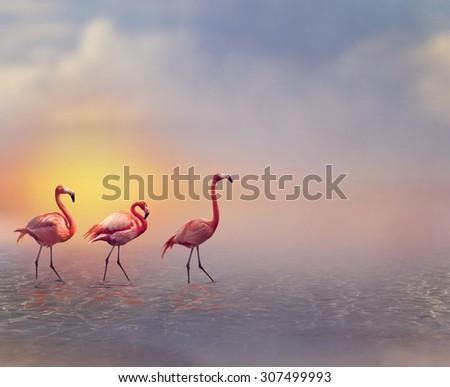 Pink Flamingos Walking at Sunset - stock photo
