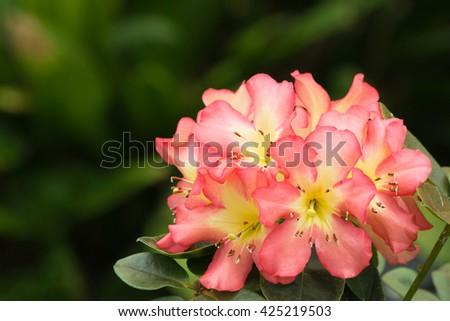 pink flower bloom - stock photo