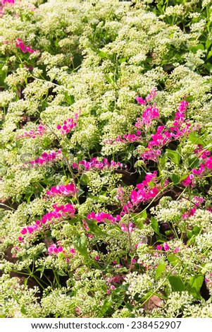 Pink flower Coral Vine - stock photo