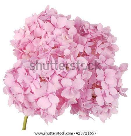 Pink flower hydrangea  on white background. Clipping path inside - stock photo