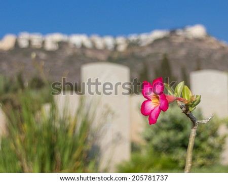 pink flower in an old war cemetery - stock photo