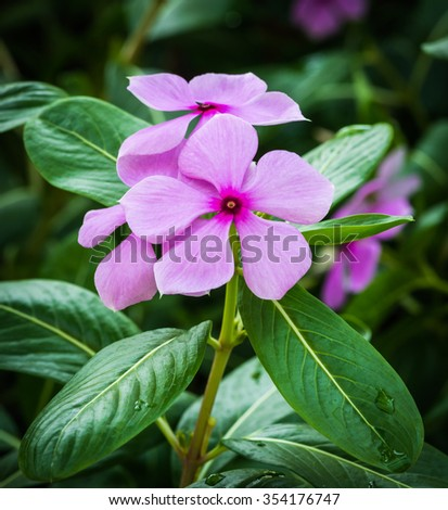 pink flower in garden, West indian periwinkle, Madagascar periwinkle, Catharanthus roseus, Vinca flower, Bringht Eye - stock photo