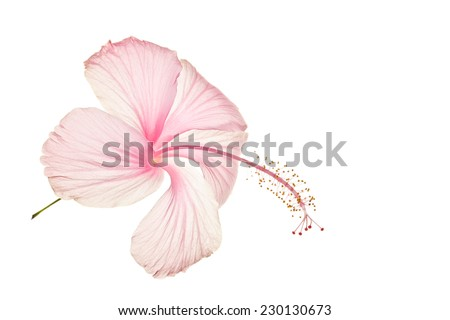 Pink flower isolated on white - stock photo