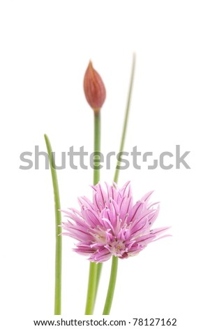 Pink flower of chive on white background. - stock photo