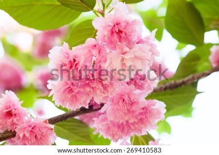 pink flower on tree. sakura. cherry blossom in spring - stock photo