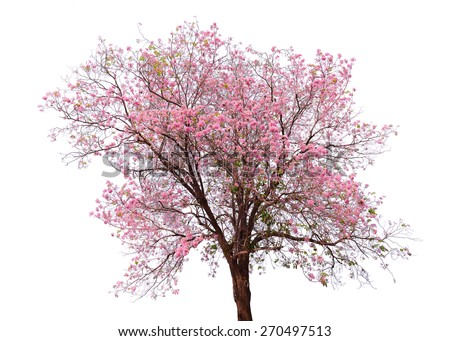 Pink flower sour cherry tree isolated on white background. This has clipping path. - stock photo