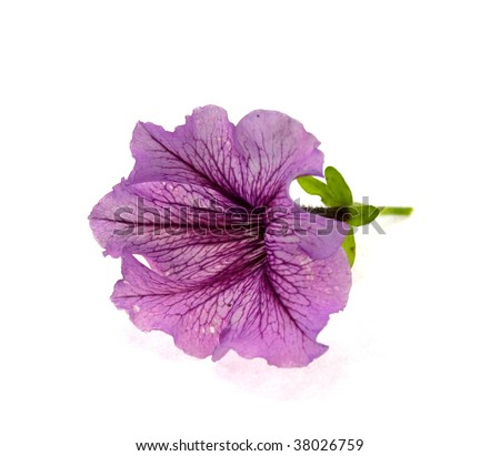 Pink flower with violet veins isolated on a white background - stock photo