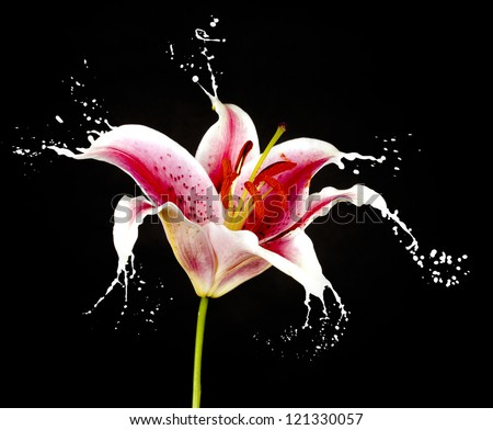 pink flower with white splashes on black background - stock photo