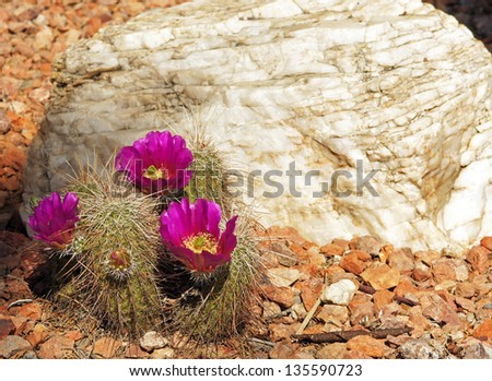 Pink flowered hedgehog cactus grows beside a rock in the garden - stock photo