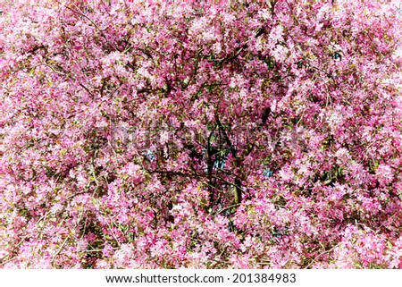 Pink flowering tree in springtime. Natural background. - stock photo