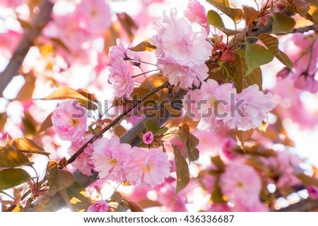 Pink flowers background. Spring pink cherry sakura blossom. Japanese pink sakura tree. High key pink color background. Romantic pink closeup flowers. Beautiful spring season nature pink background. - stock photo