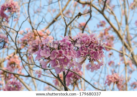 pink flowers blossom trees in the park with blue sky, Thailand - stock photo