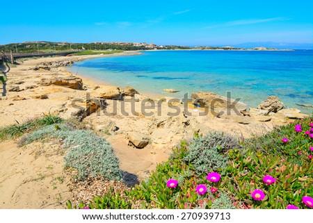 pink flowers by the sea in Capo Testa, Sardinia - stock photo