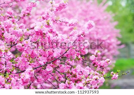 Pink flowers, Japanese cherry - stock photo