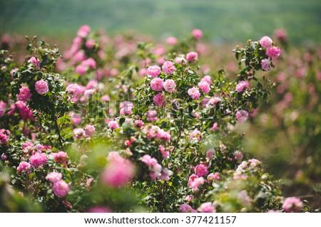 pink flowers on rose bushes at plantation - stock photo