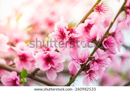Pink flowers on spring blooming tree branch with sun - stock photo