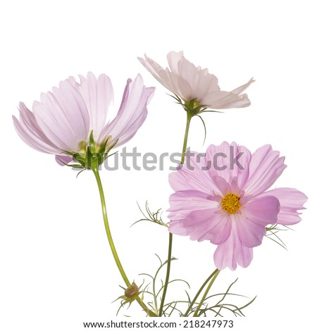 Pink flowers on white - stock photo