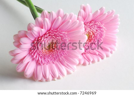 pink flowers on white background - stock photo