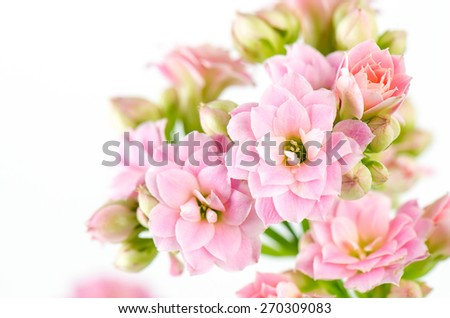 Pink flowers on white background, Kalanchoe blossfeldiana. - stock photo