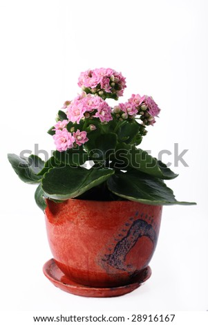 Pink flowers plant in a pot on white background - stock photo