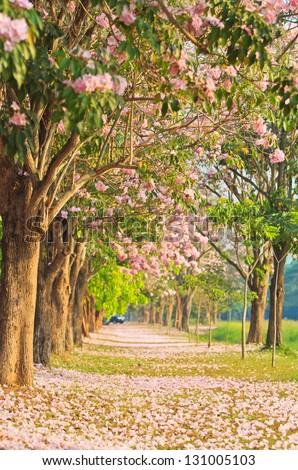 Pink flowers Tabebuia rosea blossom - stock photo