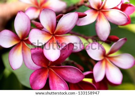 Pink frangipani flower - stock photo