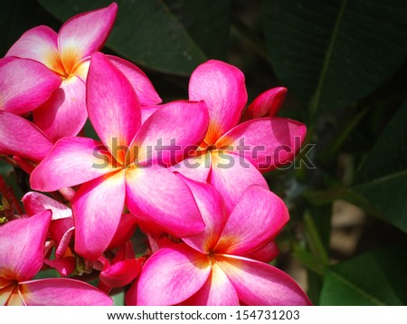 Pink frangipani flowers with green leaves background - stock photo