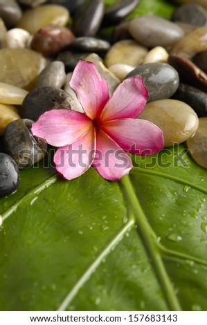 Pink frangipani with pile of stones on banana leaf - stock photo