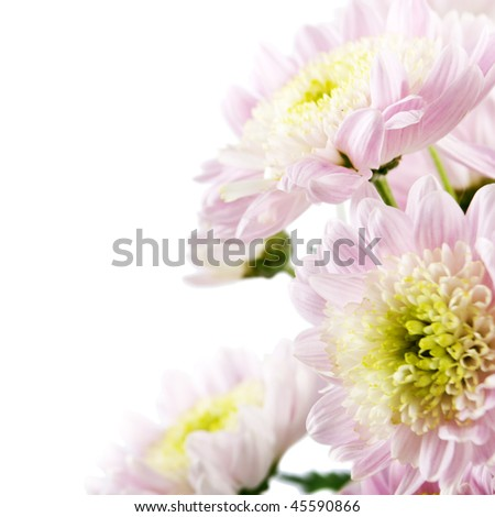 pink fresh golden-daisies (chrysanthemum) isolated on a white background. More isolated flowers you may see in my portfolio - stock photo