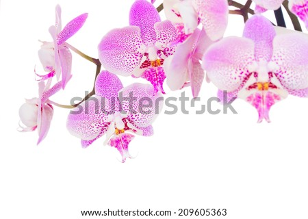 pink fresh  orchid  close up  isolated on white background - stock photo