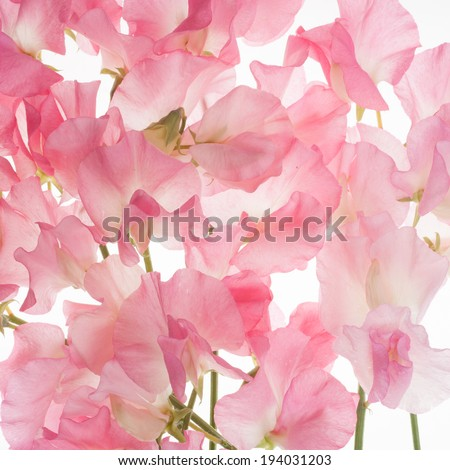 pink fresh sweet pea flower background - stock photo