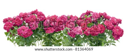 Pink garden roses border collage isolated - stock photo