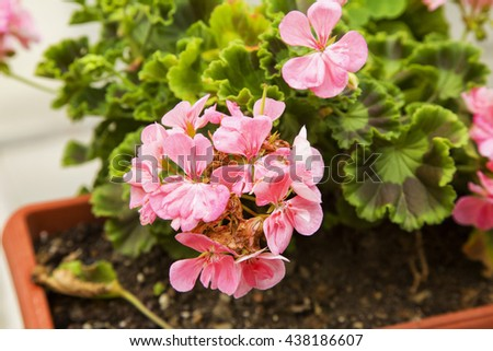 Pink geranium in a vase, horizontal image - stock photo