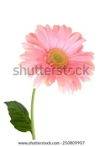 Pink gerber bloom, isolated on White Background - stock photo