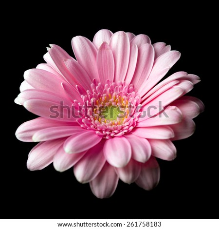 Pink gerber daisy isolated on black background - stock photo