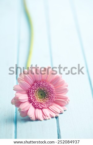 pink Gerber Daisy on wooden table - stock photo