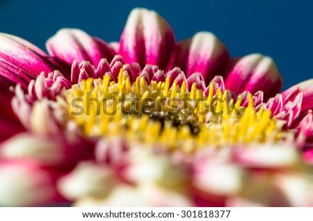 pink gerber flower detail image - stock photo