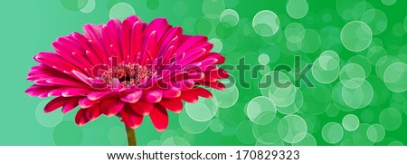 Pink gerber flowers banner with light bookeh - stock photo
