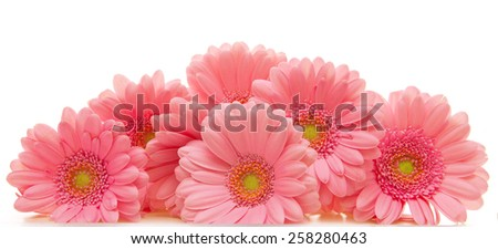 Pink gerber flowers  isolated on white background. - stock photo