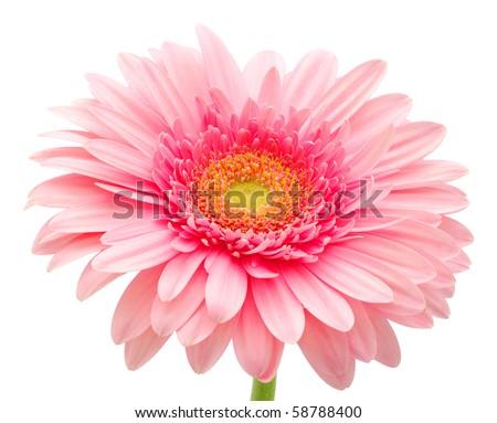 Pink gerbera - stock photo