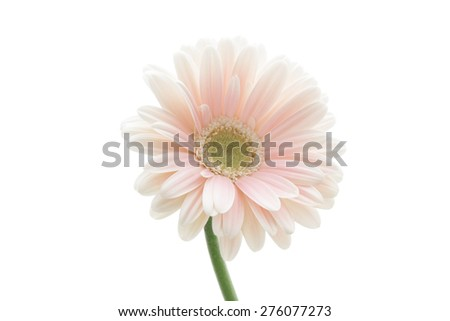 Pink gerbera daisy isolated on white background  - stock photo