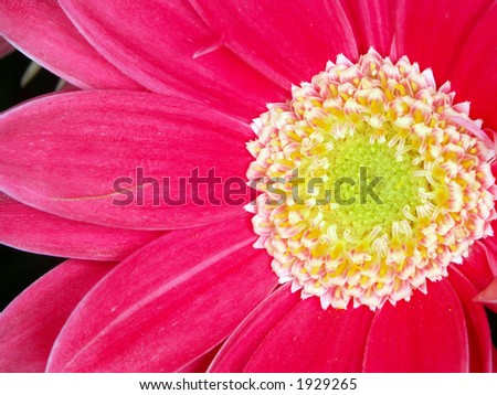 Pink Gerbera Daisy Macro - stock photo