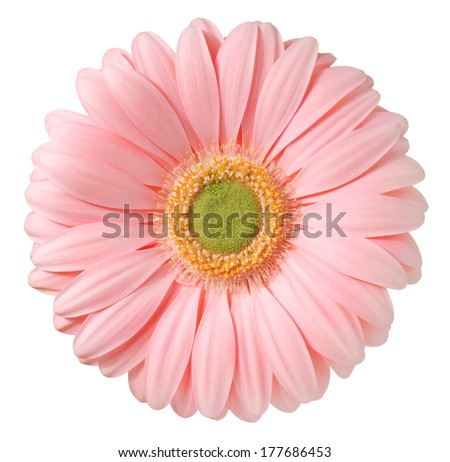 Pink gerbera. Deep focus. No dust. No pollen.  - stock photo