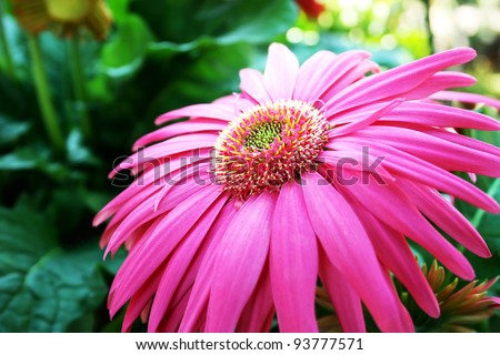 Pink gerbera flower close up picture. - stock photo