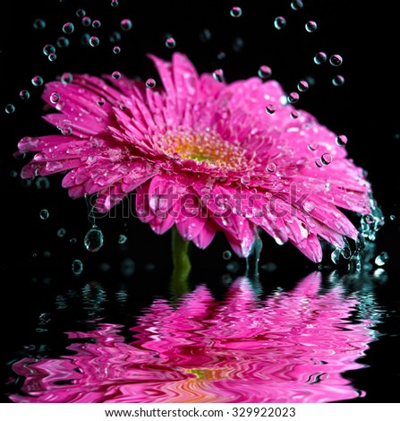 Pink gerbera flower into the rain reflected in the water - stock photo