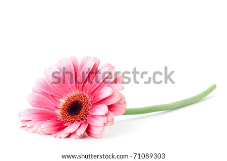 Pink gerbera flower. Isolated on white - stock photo