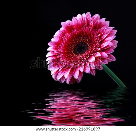 Pink gerbera flower with drops of water and water reflection on a dark background, selective focus, close up and space for text - stock photo