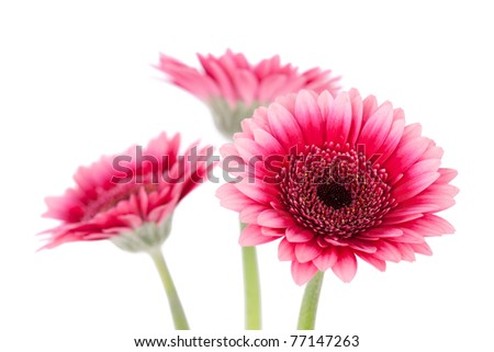 Pink gerbera isolated on a white background - stock photo