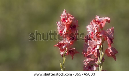 pink gladiolus in garden. blur green background - stock photo