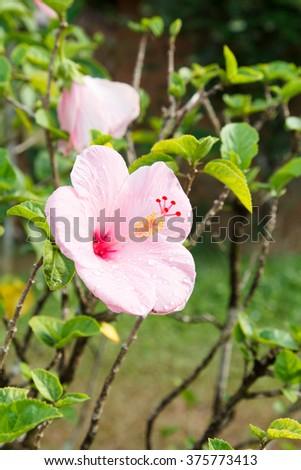 Pink Hawaiian Hibiscus Flower (Hibiscus rosa-sinensis) growing in green garden - stock photo